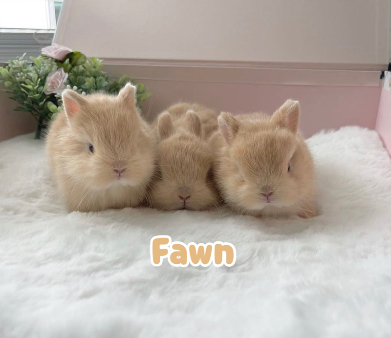FLUFFY BUNNY RABBITRY BUNNIES FOR SALE